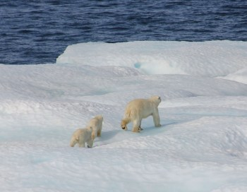 arctic ice polar bear