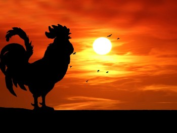 rooster sun