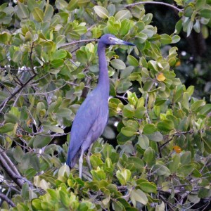 A Little Blue Heron in a Mangrove Tree, Mandahl Bay, St. Thomas, Virgin Islands