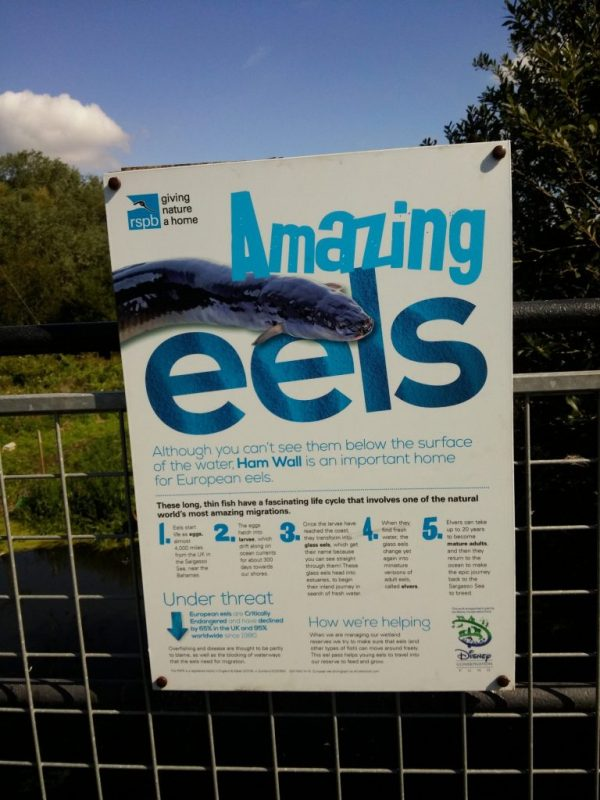 """""""Amazing eels - best not served in aspic"""", Avalon Marshes, Somerset. Photograph by Mark Goldthorpe"""