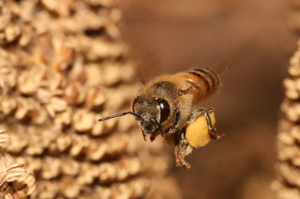 Bee: Apis mellifera flying. Photograph by Muhammad Mahdi Karim