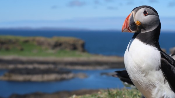 Puffin on the island of Lunga