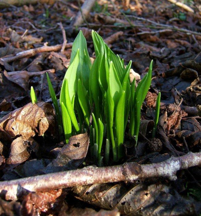 Showing Wild Garlic by Helen Moore: inspiring wild writing