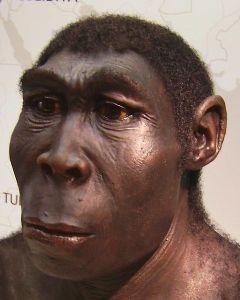 A reconstruction of Homo Erectus