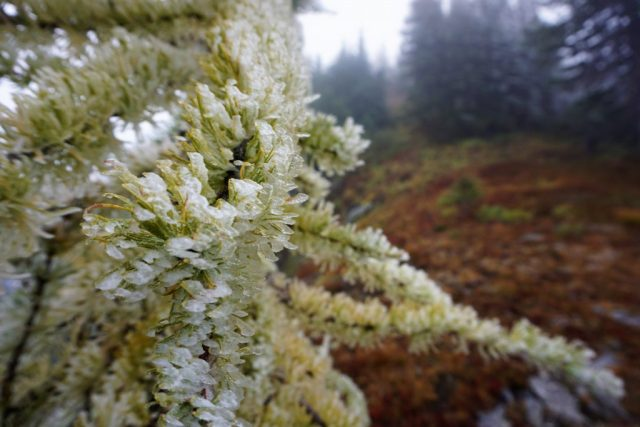 Rime Covered Larches