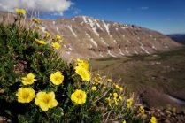 Kings Peak Flowers