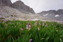 Thunderbolt Col Flowers