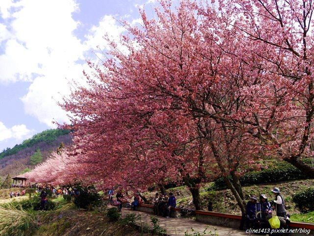 ▌2015賞櫻▌一生一定要熱血衝一次的夢幻賞櫻景點♥武陵農場♥紅粉佳人大爆開!