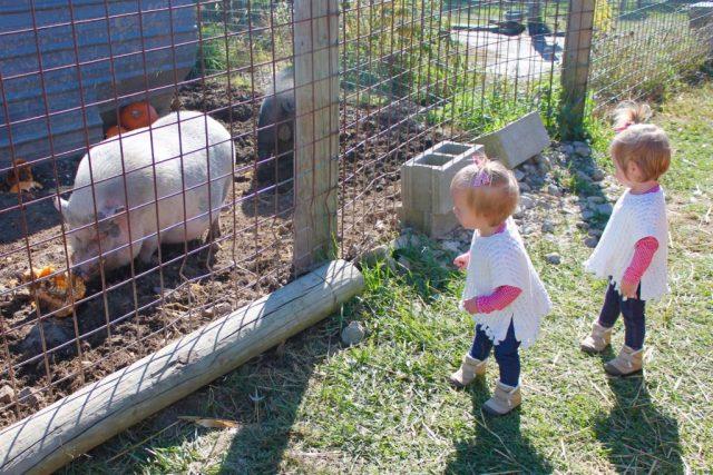 twins-pigs
