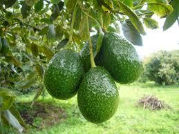 Un estudio muestra los beneficios de incluir en la dieta los ácidos grasos insaturados de este fruto.