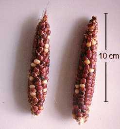 Un trabajo, publicado en Nature Plants, revela una primera fase de introducción del maíz a lo largo de una ruta de montaña, la de la Sierra Madre (de México al Estado de Arizona), hace unos 4.000 años, seguida de un flujo de genes a través de una ruta costera del Pacífico unos 2.000 años más tarde.