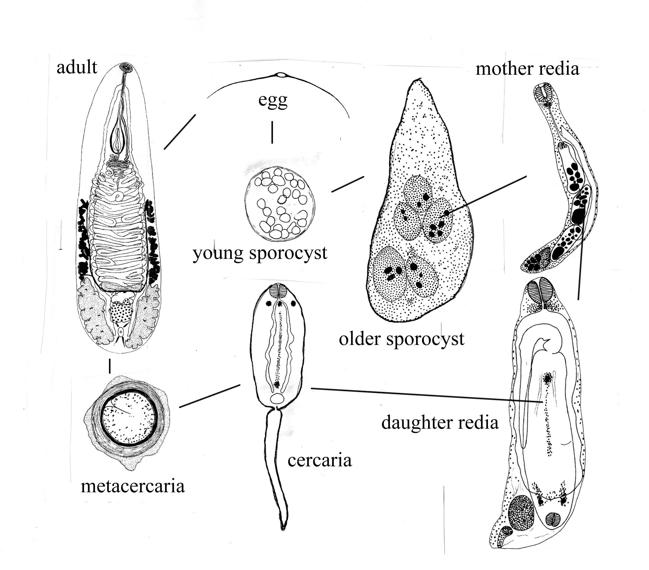 Figure 4 Cross Section Through Diaschistorchis