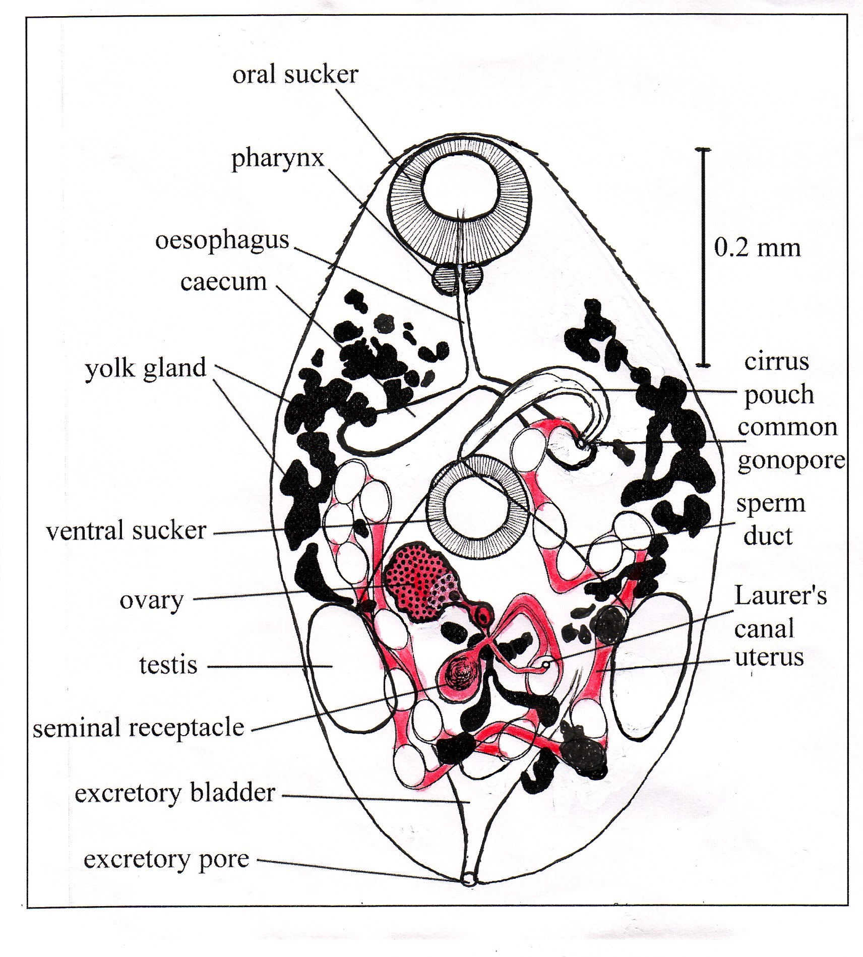 Flukes Trematodes The Biology Morphology And Medical