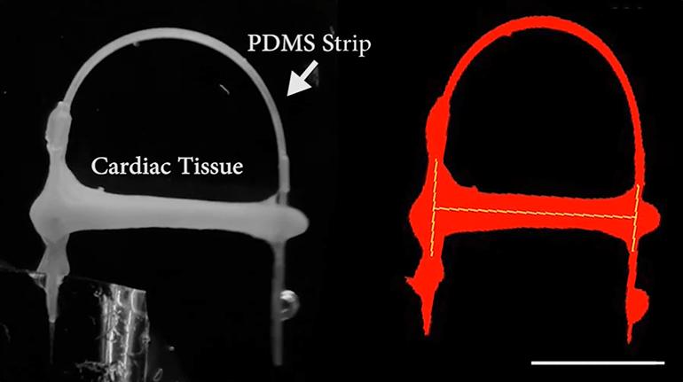 Heart Model Simulates Mechanical Load on Cardiac Tissues