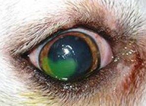 Ulcera corneale in un cane