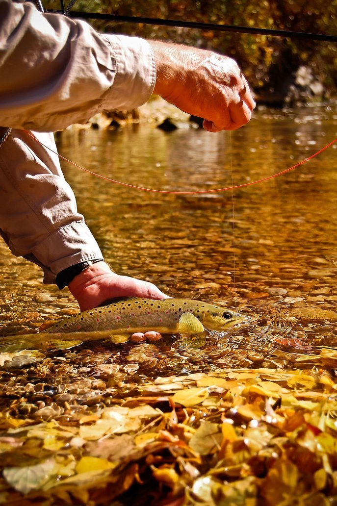 Releasing a brown trout among the bright orange Fall leaves.