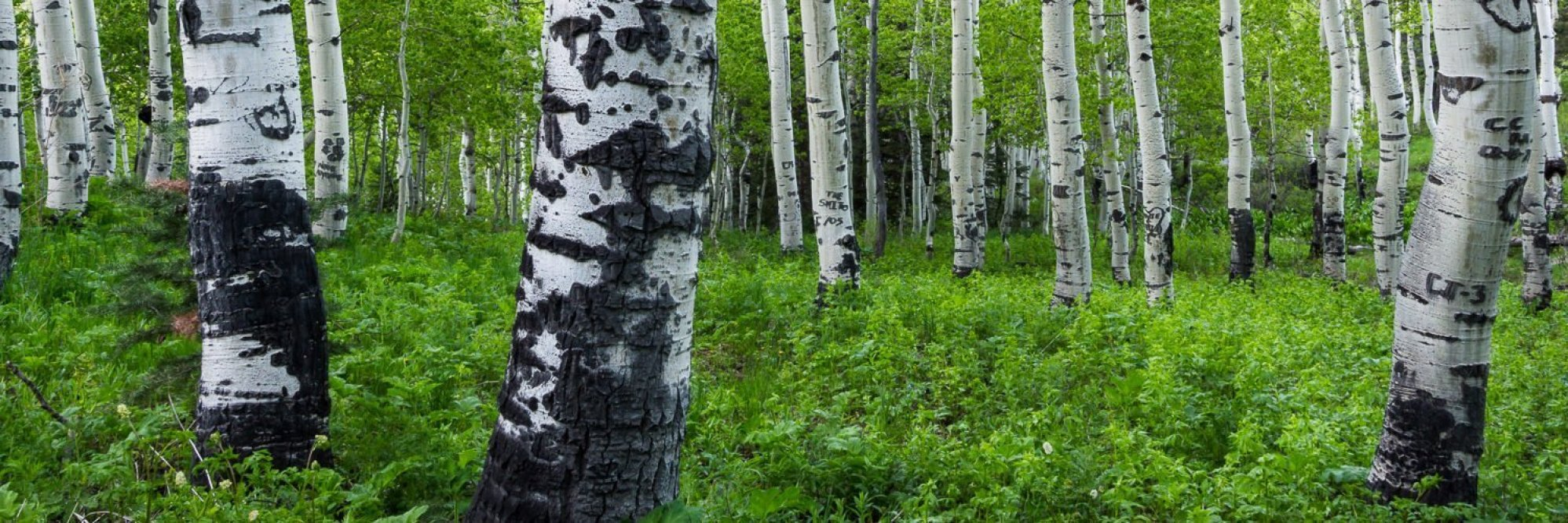 Forest Dwellers - Utah Panoramic Photography