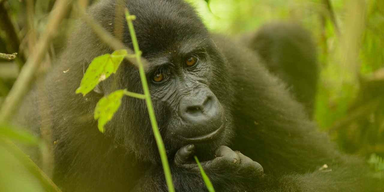 Young Nkuringo mountain gorilla in Bwindi Impenetrable National Park, Uganda