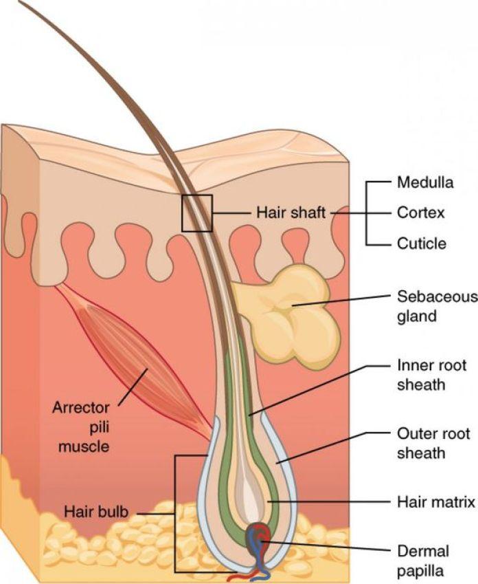 cliomakeup-come-rallentare-crescita-capelli-19-follicoli-capillari