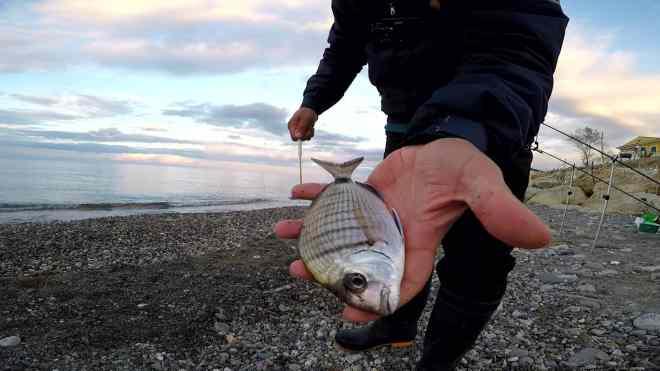 sarago catturato con bigattini a feeder fishing