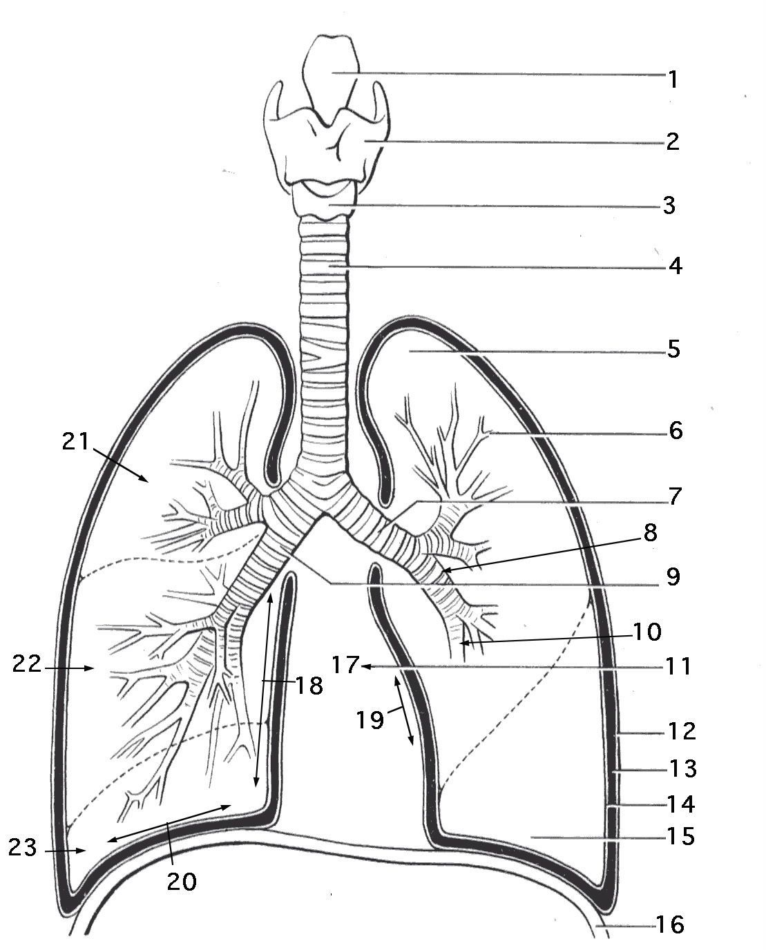 Unlabelled Respiratory System Diagram