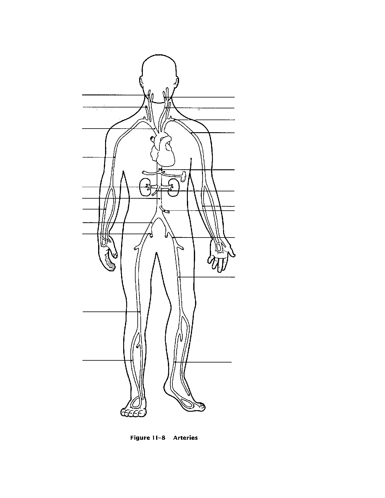 Free Circulatory System For Kids Coloring Pages Download