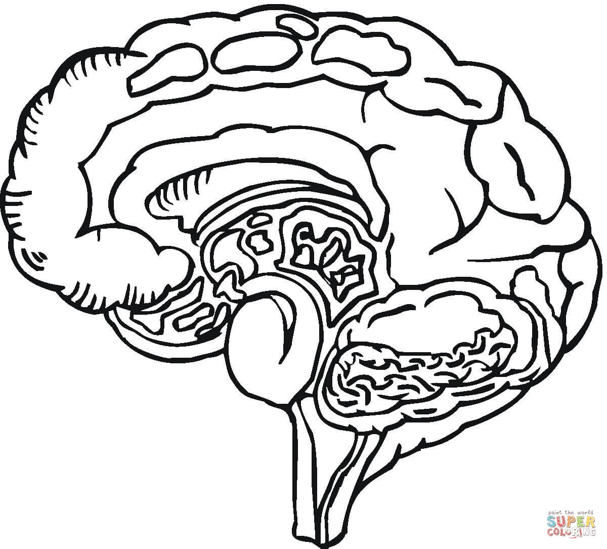 Free Human Brain Coloring Page Download Free Clip Art