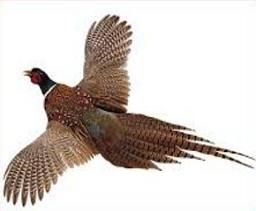 Free Pheasant Cliparts Download Free Clip Art Free Clip Art On Clipart Library