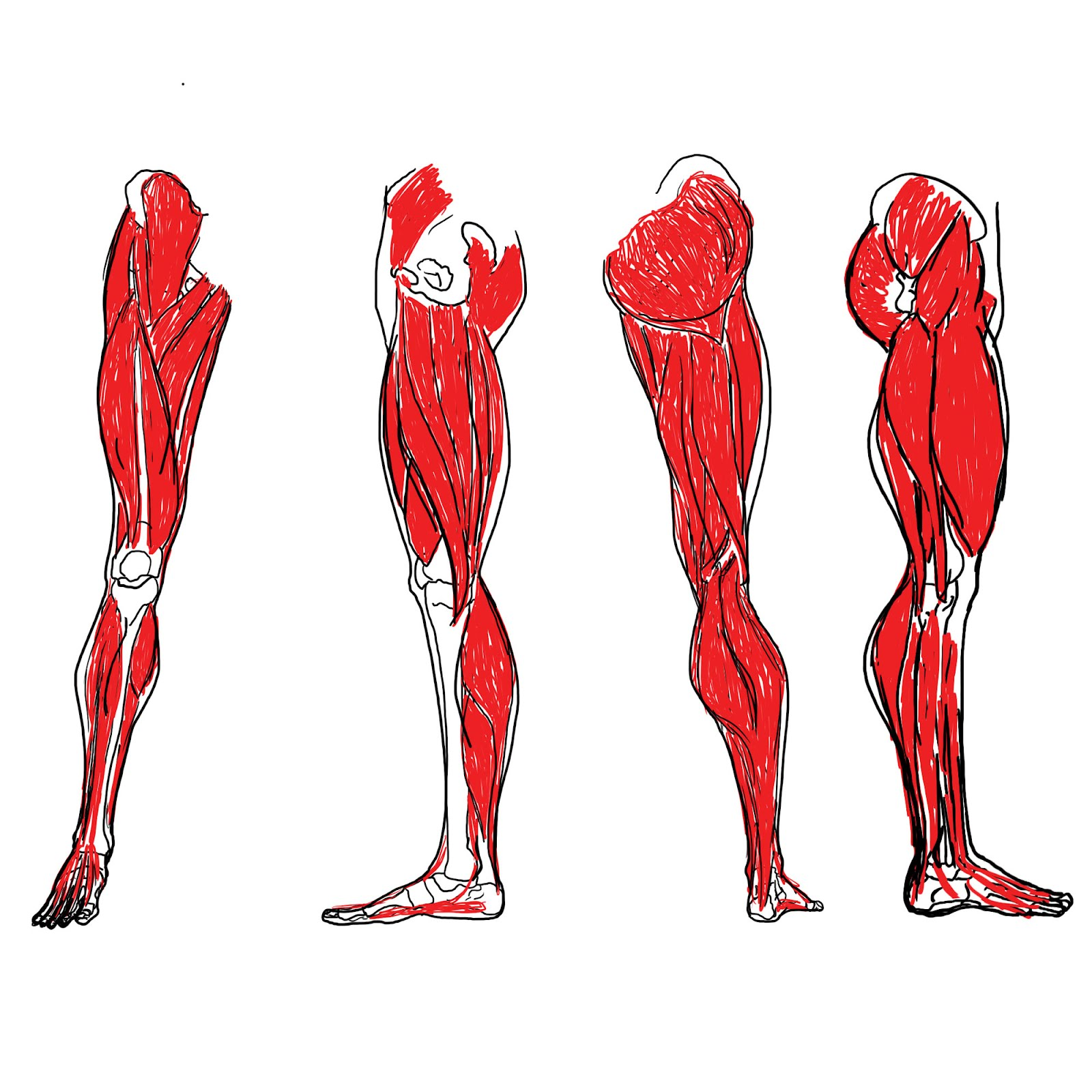 Collection Leg Muscles Pictures