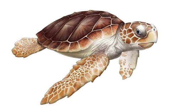 Free Scientific Illustrattion Of Image Of A Sea Turtle Download Free Clip Art Free Clip Art On