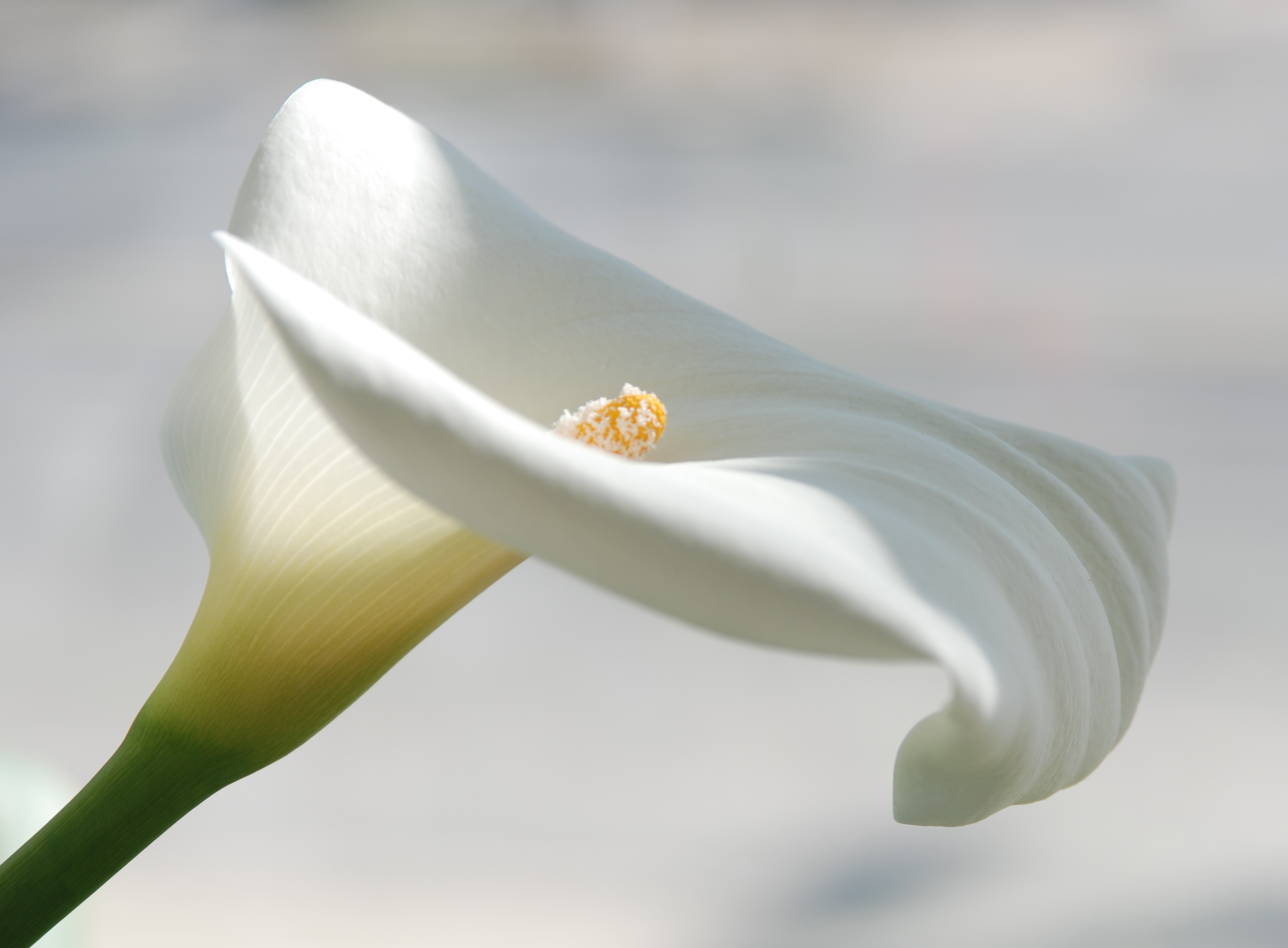 Image result for free image calla lily