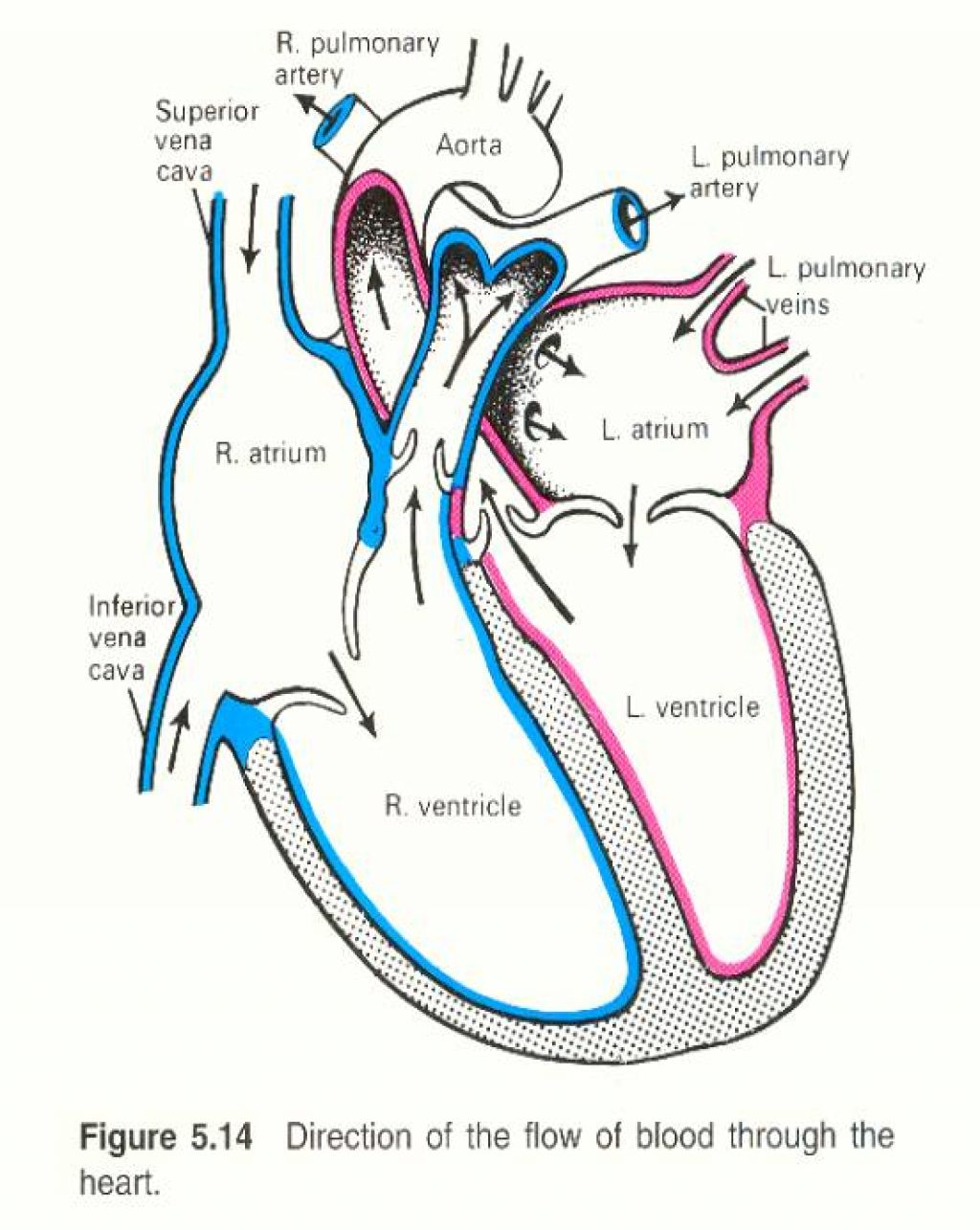 Free Human Heart Sketch Diagram Download Free Clip Art