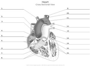 Free Unlabeled Heart Diagram, Download Free Clip Art, Free