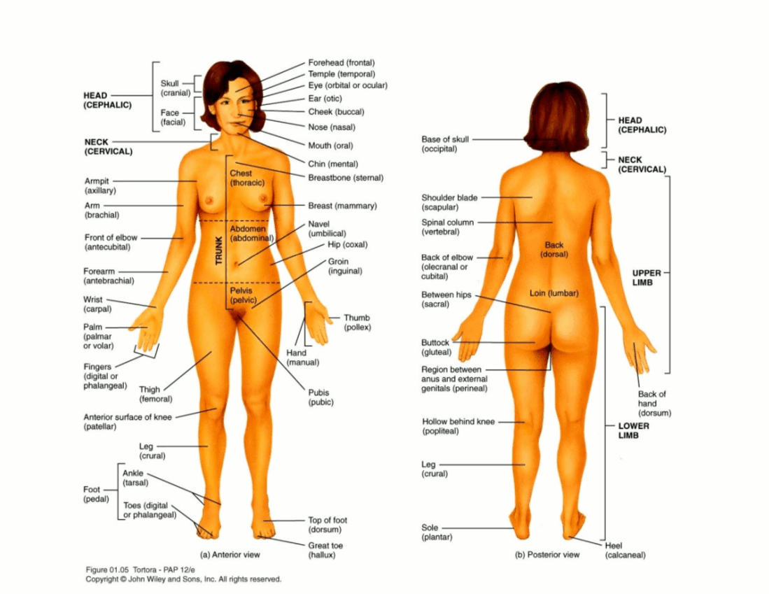 Free Parts Of The Body Download Free Clip Art Free Clip