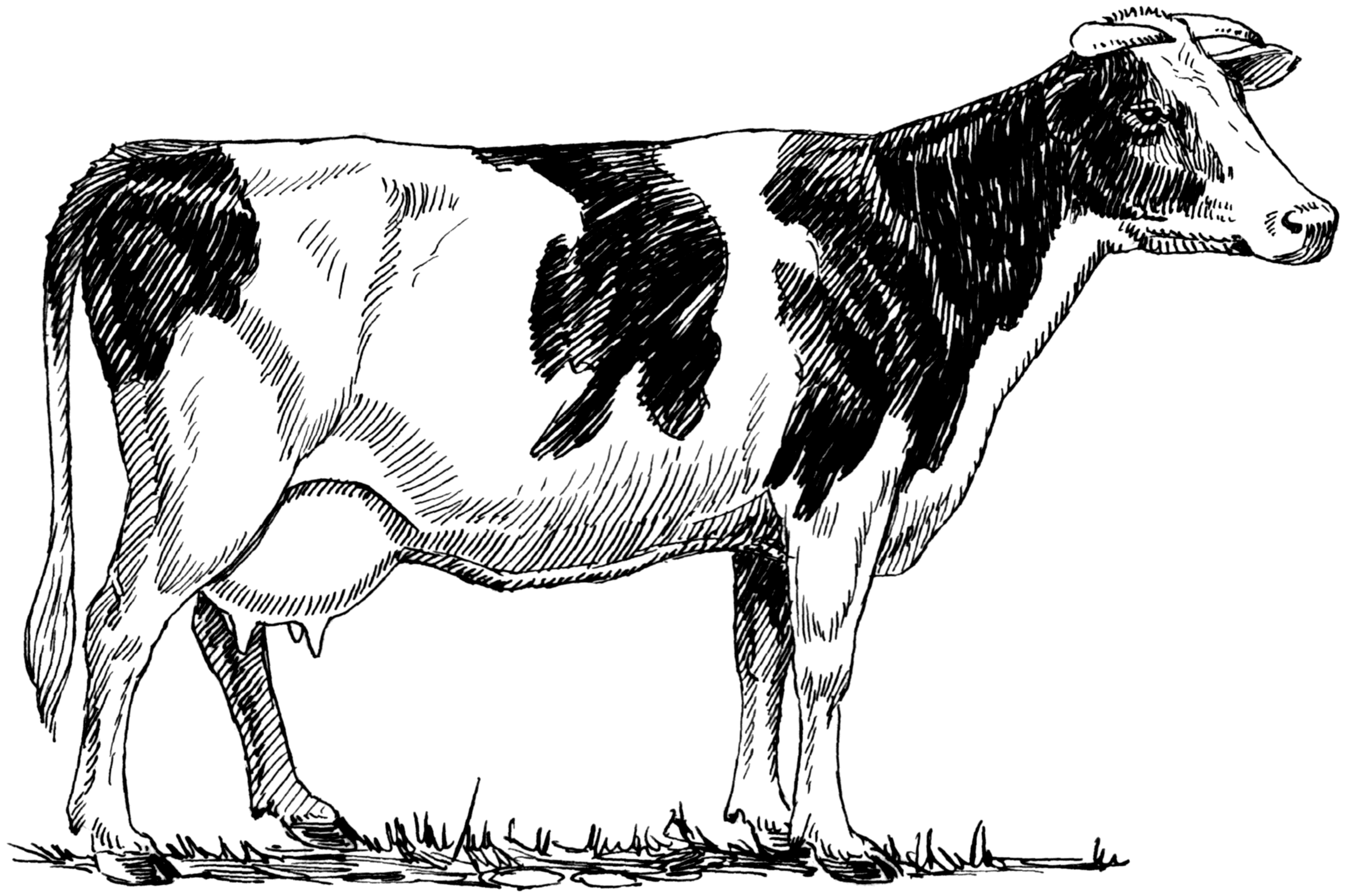 Free Cow Drawing Download Free Clip Art Free Clip Art On