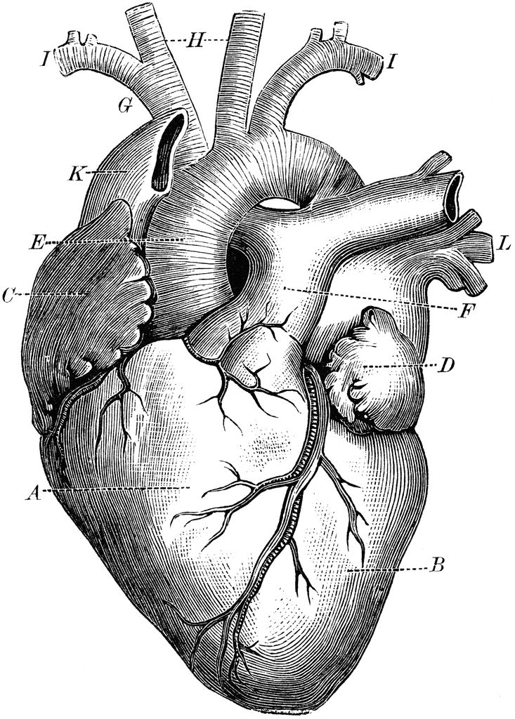 free anatomical heart pictures download free clip art