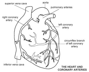 Free Blank Heart Diagram, Download Free Clip Art, Free