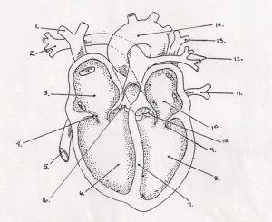 Free Blank Heart Diagram, Download Free Clip Art, Free Clip Art on Clipart Library