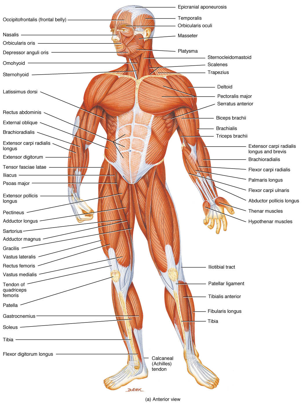 Free Human Body Parts Download Free Clip Art Free Clip Art On Clipart Library