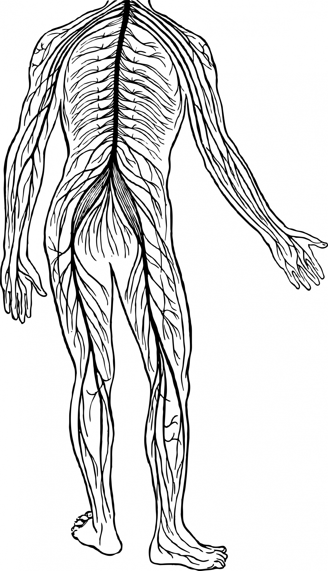Free Nervous System Cliparts Download Free Clip Art Free