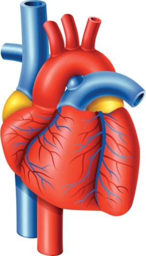 Free Heart Organ Cliparts, Download Free Clip Art, Free Clip Art on Clipart Library