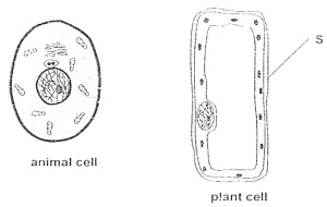 Blank Animal Cell Diagram  Clip Art Library