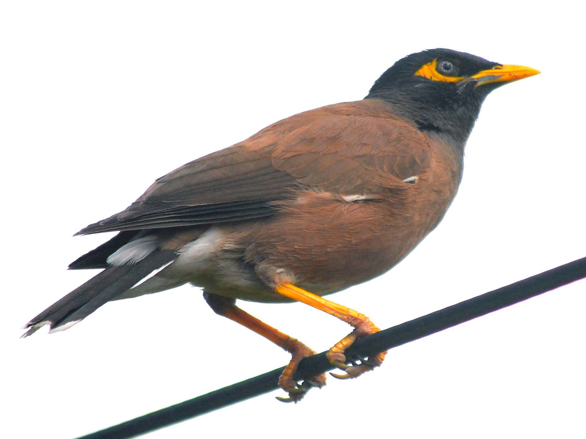 Clipart Mina Bird Common Myna Bird Clip Art Common