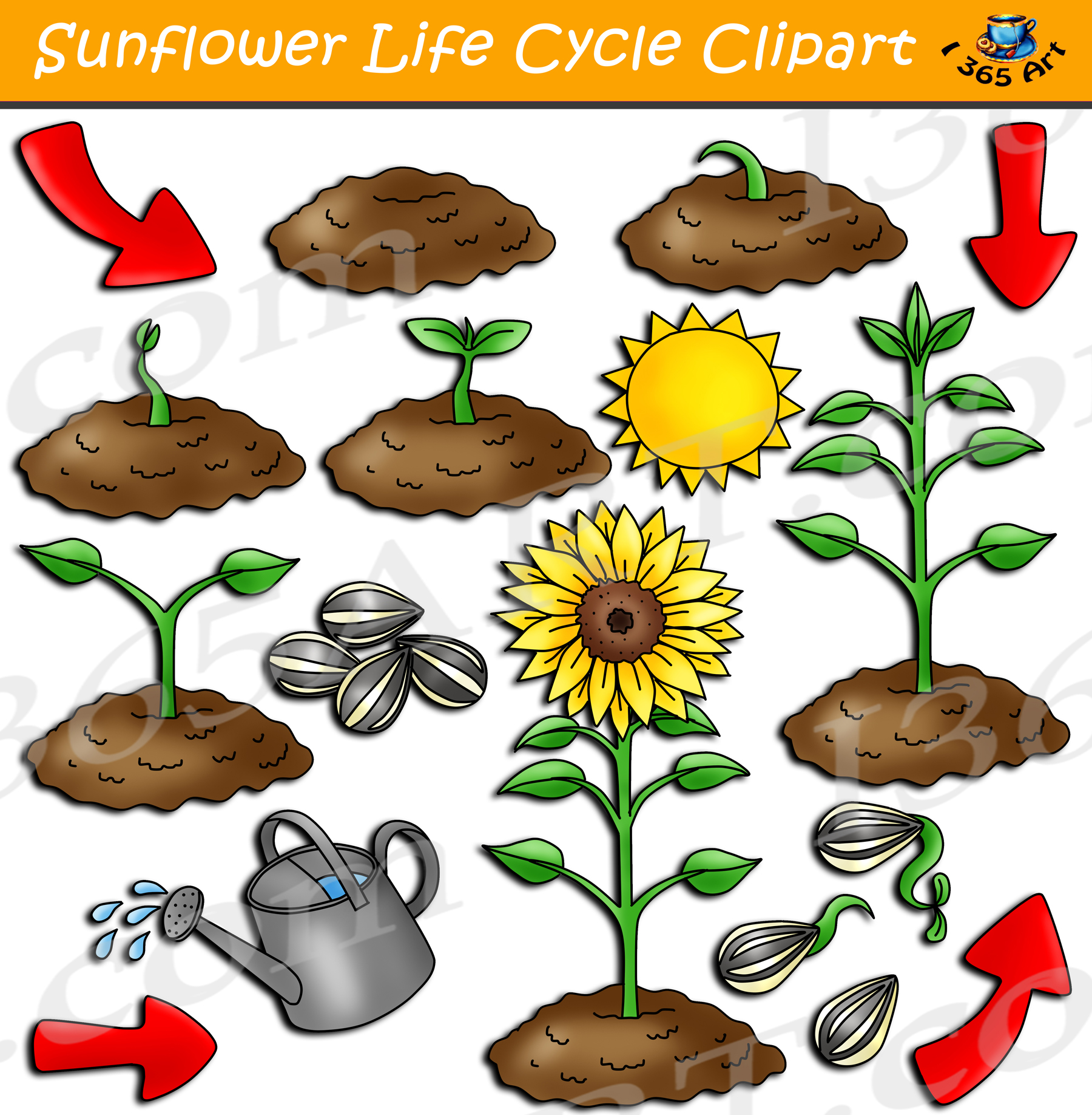 Sunflower Life Cycle Clipart Set Digital Graphics