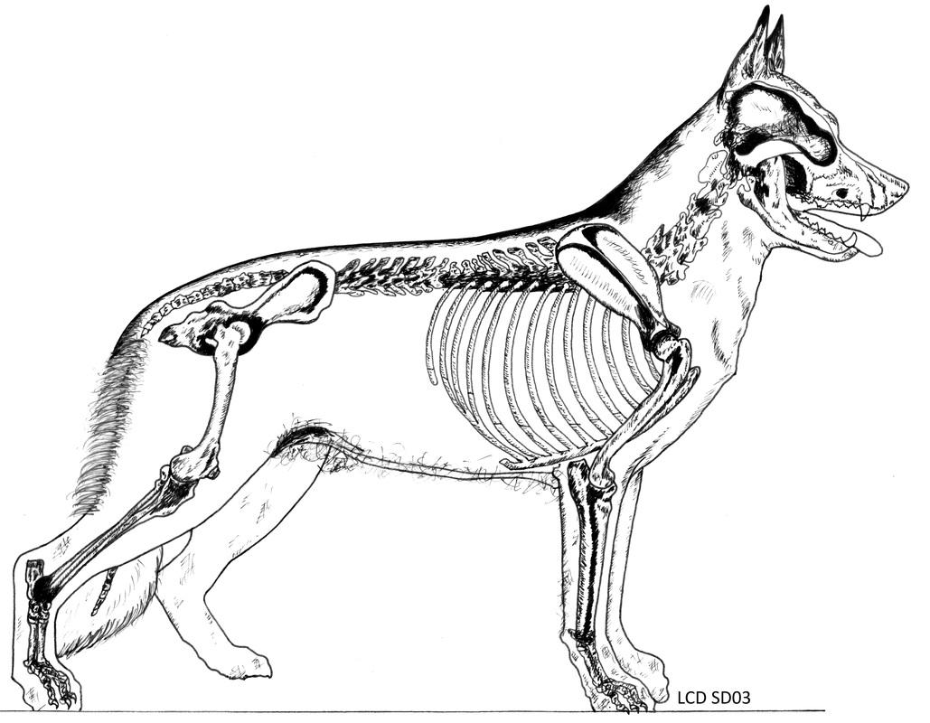 Dog Skeleton Drawing
