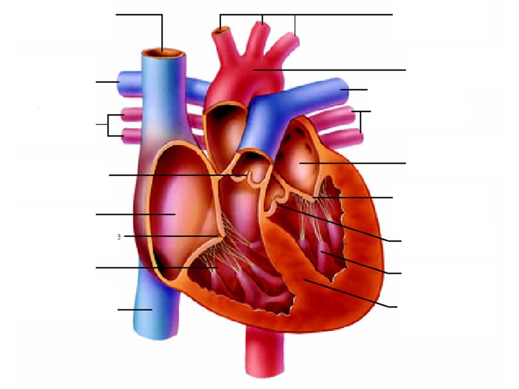 Heart Diagram Unlabeled