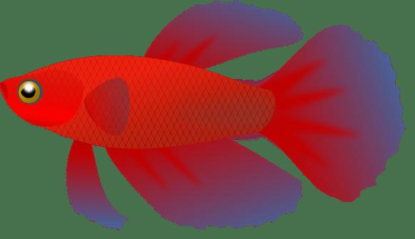 Betta Fish Clip Art - Cliparts.co (582 x 336 Pixel)