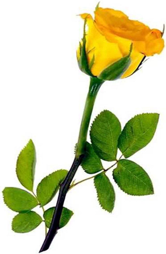 February 2 yellow rose reddirttown the rose is one of the most used flowers in the language of flowers each color of rose has a different significance and there are even more meanings when mightylinksfo