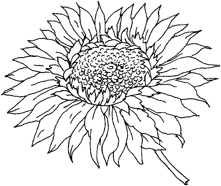 sun flower coloring pages free coloring page