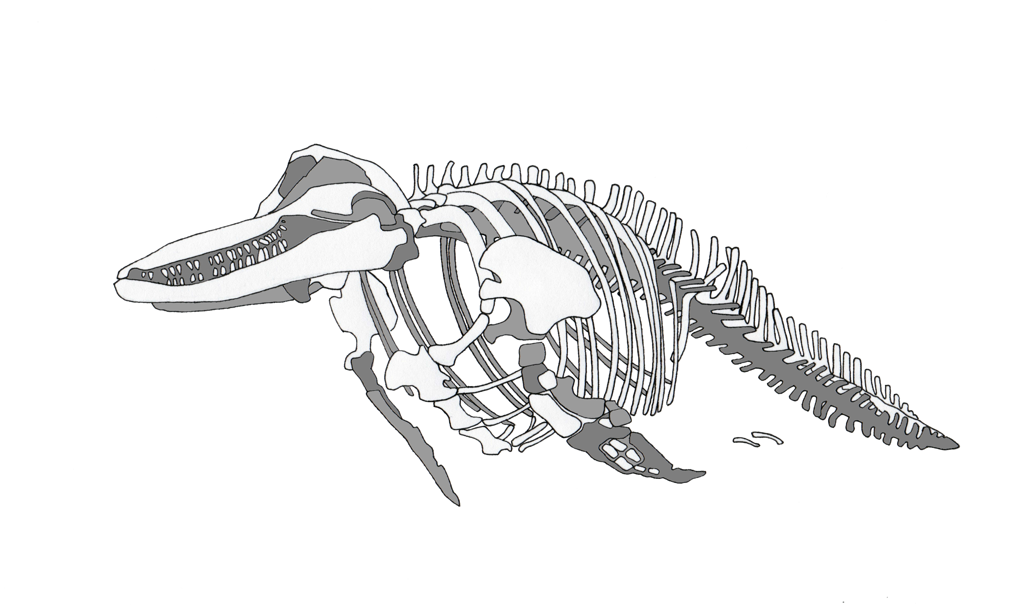 Line Drawing Of Dolphin